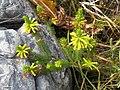 Erica viscaria ssp. macrosepala Chris Vynbos 1.jpg