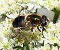 Eristalis rupium (female) - Flickr - S. Rae (9).jpg