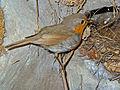 Erithacus rubecula 001.JPG