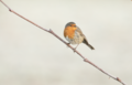 Erithacus rubecula 109626293.png