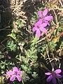 Erodium cicutarium 113791973.jpg
