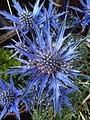Eryngium amethystinum (7557534746).jpg