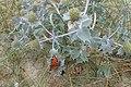 Eryngium maritimum kz13.jpg