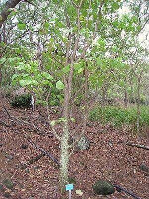 Erythrina burttii - Image: Erythrina burtii Koko Crater Botanical Garden IMG 2305