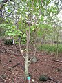 Erythrina burtii - Koko Crater Botanical Garden - IMG 2305.JPG