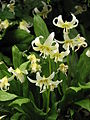 Erythronium 'White Beauty' 01.JPG