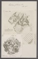 Eschara foliacea - - Print - Iconographia Zoologica - Special Collections University of Amsterdam - UBAINV0274 093 07 0003.tif