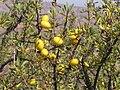 Essaouira arganier fruit (1) 1266.JPG