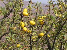 Frutti della pianta di Argania spinosa