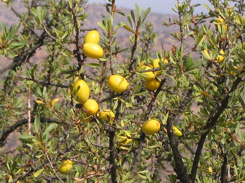 Soubor:Essaouira arganier fruit (1) 1266.JPG