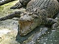 Estuarine Crocodile (Crocodylus porosus) (6990157230).jpg