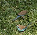 Ethiopian Birds (5065699034).jpg