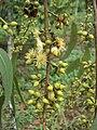 Eucalyptus camaldulensis 28.JPG