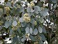 Eucalyptus melanophloia.jpg