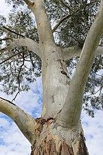 Eucalyptus parramattensis at Parramatta.jpg