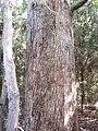 Eucalyptus viminalis Labill. (AM AK296281-3).jpg