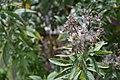 Eupatorium cannabinum L.jpg