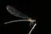 Euphaea fraseri-Kadavoor-2016-06-18-001.jpg