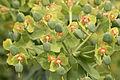 Euphorbia - Sütleğen 02.jpg