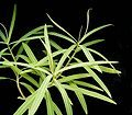 Euphorbia antso ies.jpg