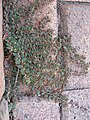 Euphorbia maculata plant5 - Flickr - Macleay Grass Man.jpg