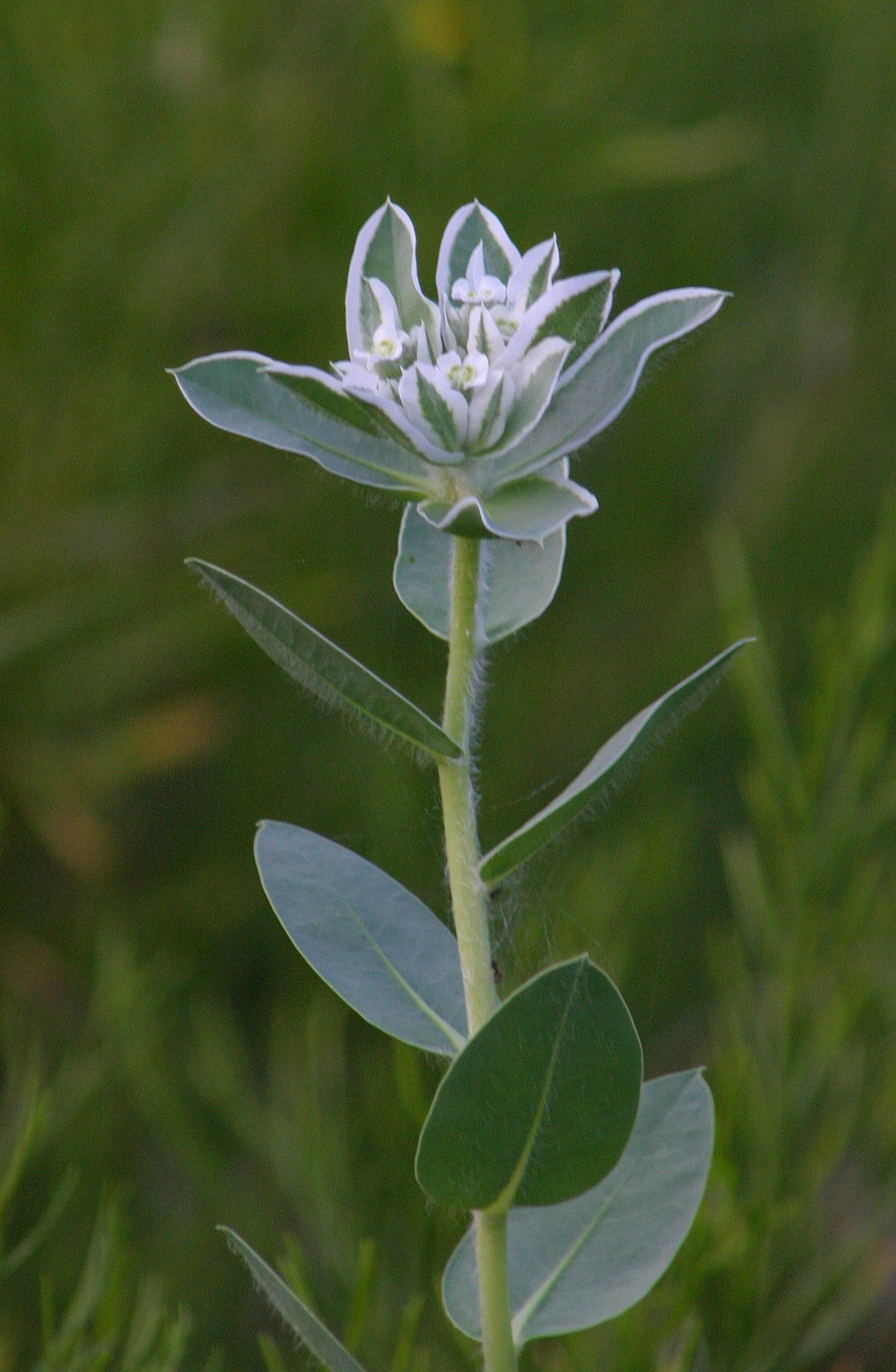Euphorbia Marginata Wikipedia