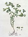 Euphorbia peplus — Flora Batava — Volume v4.jpg