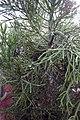Euphorbia tirucalli 1zz.jpg