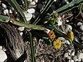 Euphorbia tuberosa hangklip 01.jpg