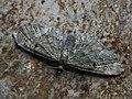 Eupithecia ?trisignaria - Triple-spotted pug - Цветочная пяденица борщевиковая (43072881644).jpg