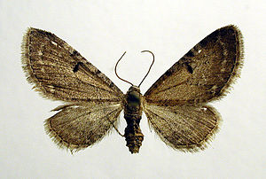 Wormwood pug - Image: Eupithecia absinthiata