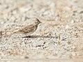 Eurasian Skylark (Alauda arvensis) (46626397921).jpg