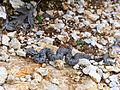European Asp (Vipera aspis aspis) juvenile (found by Jean NICOLAS) (15295050353).jpg