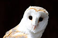 European Barn Owl.JPG