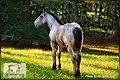 European Belgian Draft Horse Stud Colt LowCountry Acres Earl 05.jpg