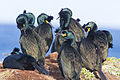 European Shag (Phalacrocorax aristotelis) (13668103374).jpg