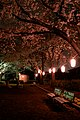 Evening cherry blossom (8626682886).jpg