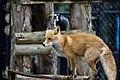 Ezo Red Fox (33104840592).jpg