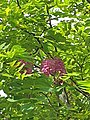 Fabales - Robinia hispida - 3.jpg