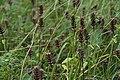 Faded Prunella grandiflora in national natural monument U Hajnice in 2011 (1).JPG
