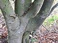 Fagus sylvatica inosculation detail, Lainshaw Woods, Stewarton, Ayrshire.jpg