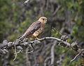 Falco columbarius East Glacier park Montana.jpg
