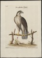 Falco peregrinus - 1700-1880 - Print - Iconographia Zoologica - Special Collections University of Amsterdam - UBA01 IZ18200144.tif
