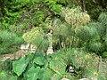 Fale - Giardini Botanici Hanbury in Ventimiglia - 402.jpg