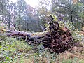 Fallen Oak, Savernake - Nov 2012 - panoramio.jpg