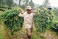 Farmer harvesting grass for his cows - West Java.jpg