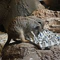 Feeding the meerkats (20418184292).jpg