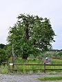Feldbach-Oedt - Naturdenkmal 1402 - Hirschbirnbaum (Pyrus communis var) - II.jpg