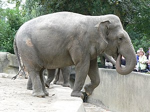 Female elephas maximus at hamburg.JPG