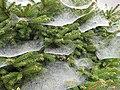 Festooned pine - geograph.org.uk - 963457.jpg